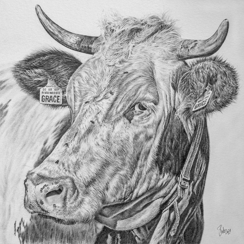 Portrait of a cow in pencil on white Paper; Kuhporträt gezeichnet mit Bleistift auf weißem Papier